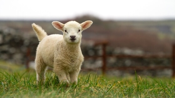 Kleines Lamm auf einer Wiese